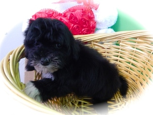 Poodle (Toy)-Shih Tzu Mix Puppy For Sale in HAMMOND, IN