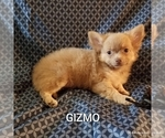 Small Photo #5 Chihuahua Puppy For Sale in MANSFIELD, TX, USA