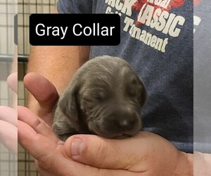 Weimaraner Puppy for Sale in BERESFORD, South Dakota USA