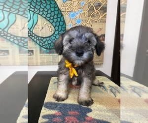 Schnauzer (Miniature) Puppy for sale in SAN DIEGO, CA, USA