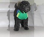 Puppy 3 Poodle (Standard)