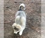 Small Photo #4 Wolf Hybrid Puppy For Sale in FILLMORE, LA, USA