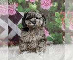 Puppy 3 Schnoodle (Miniature)