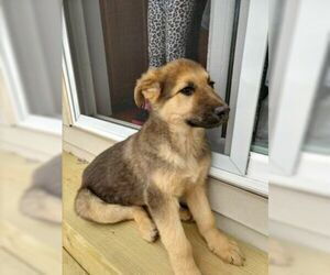 German Shepherd Dog Puppy for sale in ELK MOUND, WI, USA