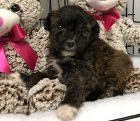 Poodle (Toy)-Yorkshire Terrier Mix Puppy for sale in CONOWINGO, MD, USA