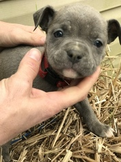 Olde English Bulldogge Puppy For Sale in BEEBE, AR, USA