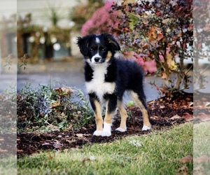 Miniature American Shepherd Puppy for sale in DIXON, CA, USA