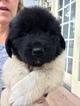 Newfoundland Puppy For Sale in PERU, IN,