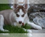 Siberian Husky Puppy Trained