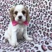Cocker Spaniel Puppy For Sale in EPHRATA, PA,