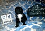 Aussiedoodle Puppy For Sale in FLINT, Texas,