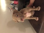 American Pit Bull Terrier Puppy For Sale in GERMANTOWN, MD, USA