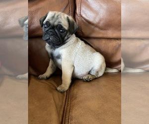 Pug Puppy for Sale in WARRENTON, Missouri USA
