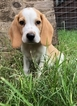 Beagle Puppy For Sale in DOAK SPRINGS, TX, USA