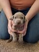 Weimaraner Puppy For Sale in ALSEN, SD, USA