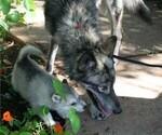 Small #13 German Shepherd Dog-Wolf Hybrid Mix
