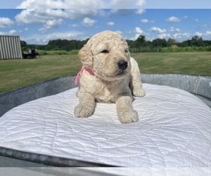 Goldendoodle Puppy for sale in CULLMAN, AL, USA