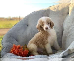 Poodle (Standard) Puppy for Sale in HOUSTON, Texas USA