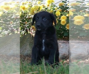 Aussiedoodle-Goldendoodle Mix Puppy for Sale in NAPPANEE, Indiana USA