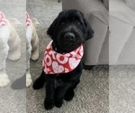 Small Photo #12 Labradoodle Puppy For Sale in PAW PAW, MI, USA