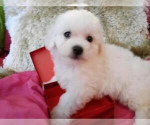 Bichon Frise Dog for Adoption in LA PORTE, Texas USA