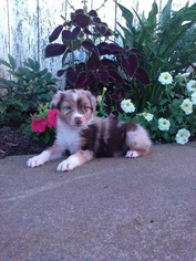 Australian Shepherd Puppy For Sale in BALTIC, OH, USA