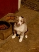 Miniature Australian Shepherd Puppy For Sale in NEW VIENNA, IA