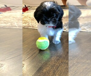 Shih Tzu Puppy for sale in CO SPGS, CO, USA