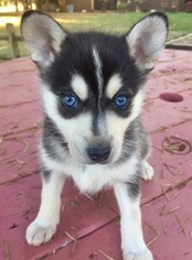 Alaskan Klee Kai Puppy For Sale in AUMSVILLE, OR, USA
