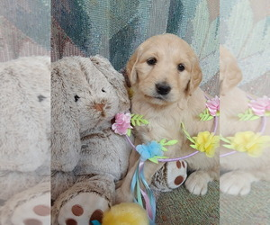 Goldendoodle Puppy for Sale in HONEA PATH, South Carolina USA