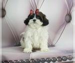 Puppy 8 ShihPoo