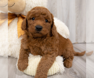 Goldendoodle-Poodle (Miniature) Mix Puppy for Sale in DONNELLSON, Iowa USA