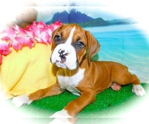 Boxer Puppy for Sale in HAMMOND, Indiana USA
