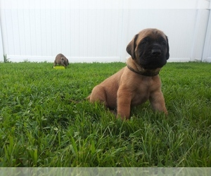 Mastiff Puppy for Sale in CHESAPEAKE, Virginia USA