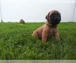 Mastiff Puppy For Sale in CHESAPEAKE, VA, USA