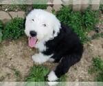 Puppy 1 Old English Sheepdog