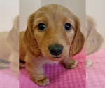 Puppy 2 Dachshund