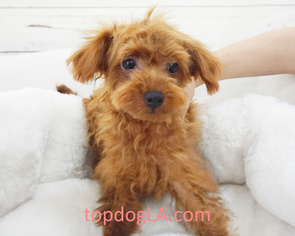 Poodle (Standard) Puppy for sale in LA MIRADA, CA, USA