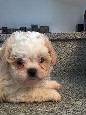 Shih-Poo Puppy For Sale in MADISON, AL, USA