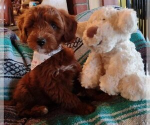 Cavachon-Poodle (Miniature) Mix Puppy for Sale in FREWSBURG, New York USA
