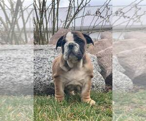 English Bulldog Puppy for Sale in NAPPANEE, Indiana USA