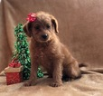 Small #6 Labradoodle-Poodle (Miniature) Mix