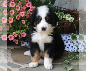 Bernedoodle-Poodle (Miniature) Mix Puppy for sale in EAST EARL, PA, USA