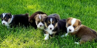 Pembroke Welsh Corgi Puppy For Sale in GILL, CO, USA
