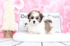 Peyton Very Sweet Female Havanese