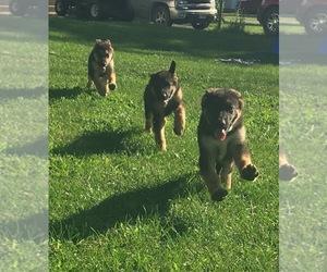 German Shepherd Dog Puppy for sale in SAINT ANNE, IL, USA
