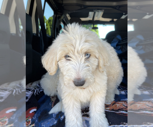 Poodle (Standard)-Siberian Husky Mix Puppy for sale in ACAMPO, CA, USA
