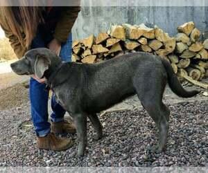 Labrador Retriever Puppy for sale in CANON CITY, CO, USA