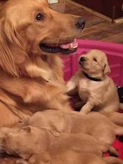 Golden Retriever Puppy For Sale in LANCASTER, KY, USA