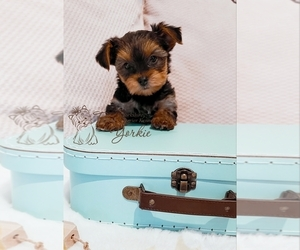 Yorkshire Terrier Puppy for sale in ORCHARDS, WA, USA
